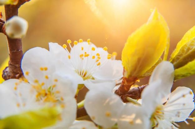 Schöne weiße kirschblüten-sakura blüht makro nah oben im frühling. inspirierender blühender blumengarten oder -park. blumenkunstdesign.