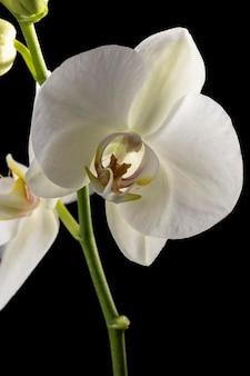 Schöne weiße makroorchidee