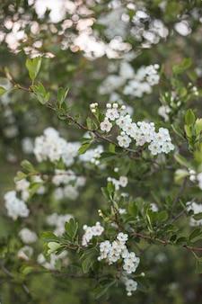 Schöne weiße mandelblumen im baum- und bokehhintergrund