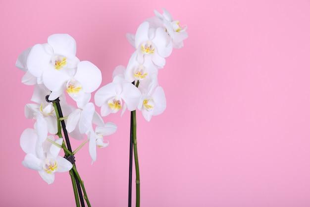 Schöne weiße orchidee auf einem rosa hintergrund