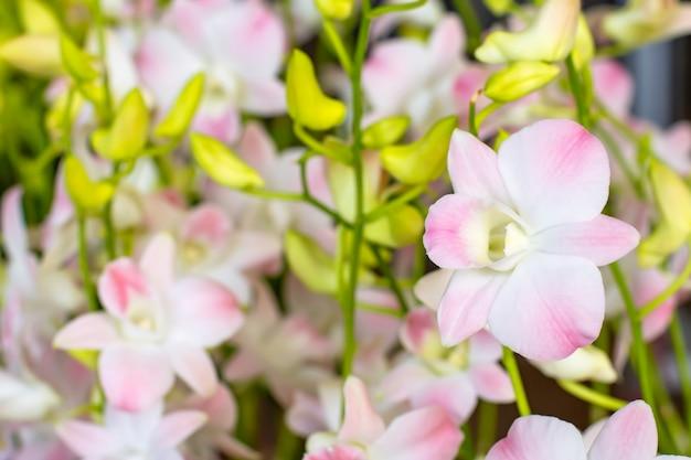 Schöne weiße orchidee und gemusterte rosa stellen hintergrund verwischten blätter im garten.