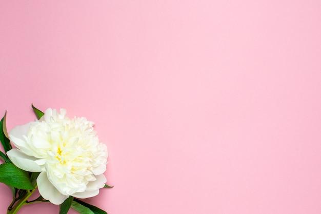 Schöne weiße pfingstrosenblume auf pastellrosa