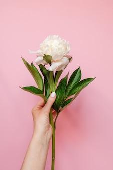 Schöne weiße pfingstrosenblume in der frauenhandnahaufnahme auf rosa. ansicht von oben. flach liegen