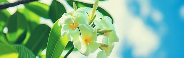 Schöne weiße plumeria blüht auf einem baum
