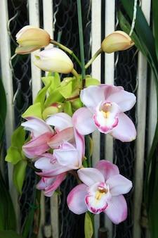 Schöne weiße rosa orchidee (cymbidium)