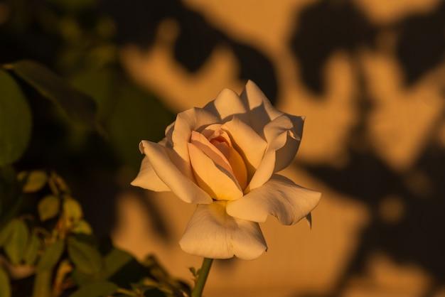 Schöne weiße rose.