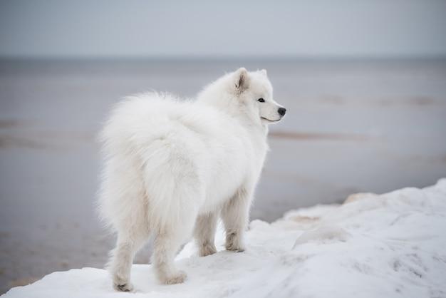 Schöne weiße samojedenhundrückansicht ist auf schnee saulkrasti strand weiße düne in lettland