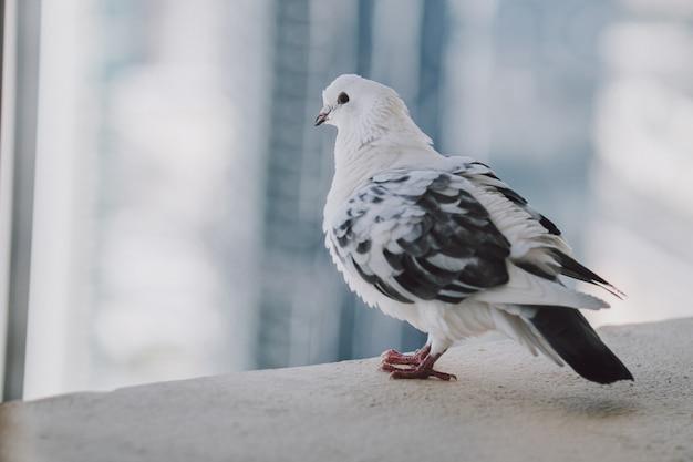 Schöne weiße taube auf dem balkon