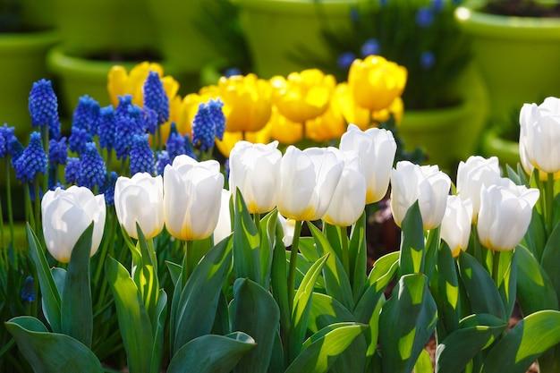 Schöne weiße tulpen im frühling und blaue blumen und gelbe tulpen dahinter