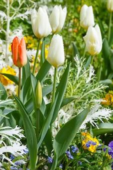 Schöne weiße und eine rote tulpe. natur vielfarbiger hintergrund.