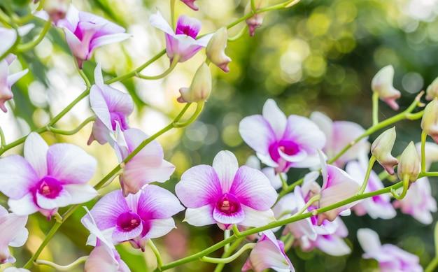 Schöne weiße und lila orchideen, dendrobium.