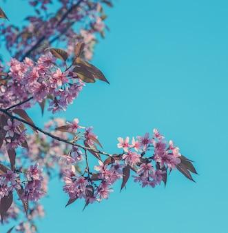 Schöne wilde himalajakirschblüte im frühjahr über blauem himmel. weinlesefarbtonbild.
