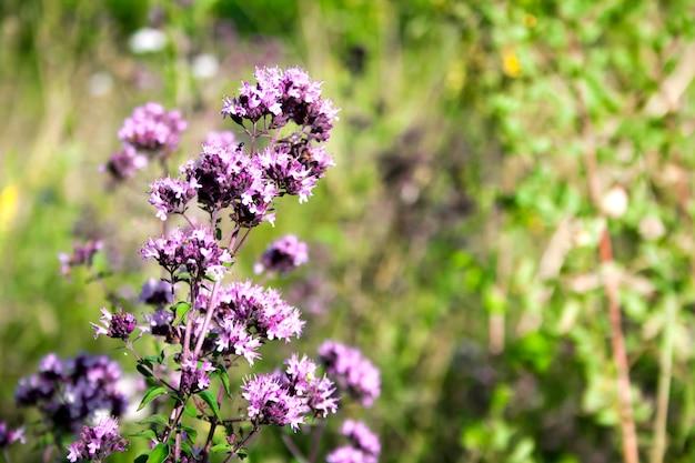 Schöne wilde oreganoblumen auf einer sommerwiese
