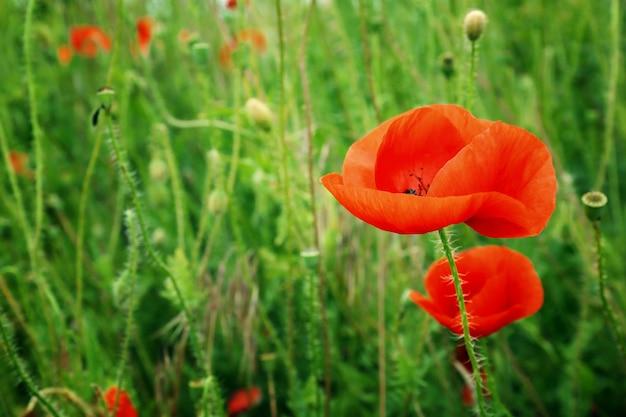 Schöne wilde rote mohnblume auf verschwommener natur