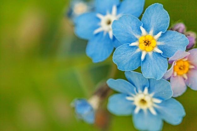 Schöne wilde vergissmännchen myosotis blumenblüte blüht im frühling