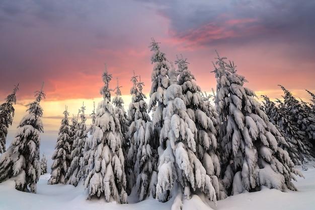 Schöne winterberglandschaft. hohe fichten, die mit schnee im winterwald und im bewölkten himmelhintergrund bedeckt werden.