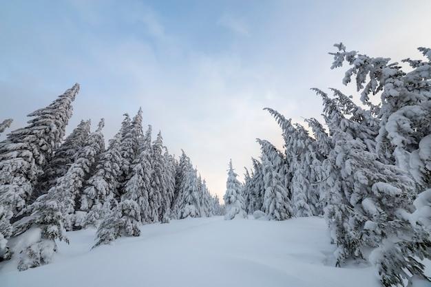Schöne winterberglandschaft. hohe gezierte bäume bedeckt mit schnee im winterwald