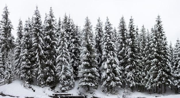 Schöne winterlandschaft. dichter bergwald mit hohen dunkelgrünen fichten, die mit sauberem tiefem schnee an hellem frostigem wintertag bedeckt werden.