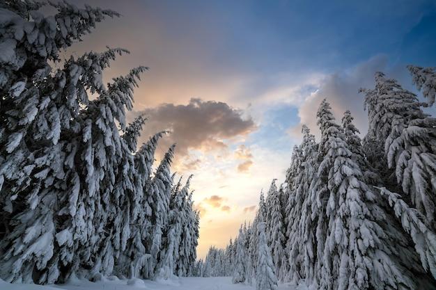 Schöne winterlandschaft. dichter bergwald mit hohen dunkelgrünen fichten, weg im weißen sauberen tiefschnee am hellen frostigen wintertag.
