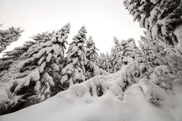 Schöne winterlandschaft. dichter gebirgswald mit den hohen dunkelgrünen fichtenbäumen bedeckt mit sauberem tiefem schnee.