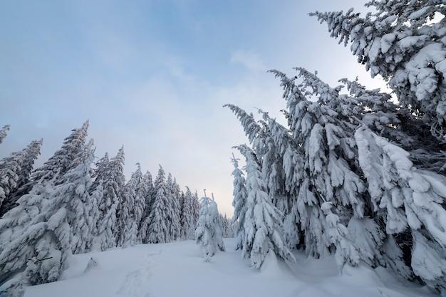 Schöne winterlandschaft. dichter gebirgswald mit hohen dunkelgrünen fichten, weg im weißen sauberen tiefen schnee.
