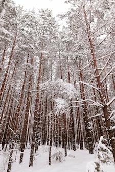 Schöne winterlandschaft im wald, hohe bäume mit schnee bedeckt, die erde ist mit weißen großen schneeverwehungen bedeckt