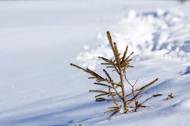 Schöne winterlandschaft. kleine junge grüne zarte tannenbaumfichte, die allein im tiefen schnee auf berghang am kalten sonnigen eisigen tag auf klarem hellem weiß wächst