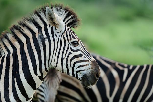 Schöne zebras auf einem grasbedeckten feld