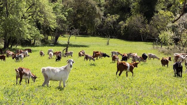 Schöne ziegen, die morgens gras in einer landschaft mit grüner wiese grasen