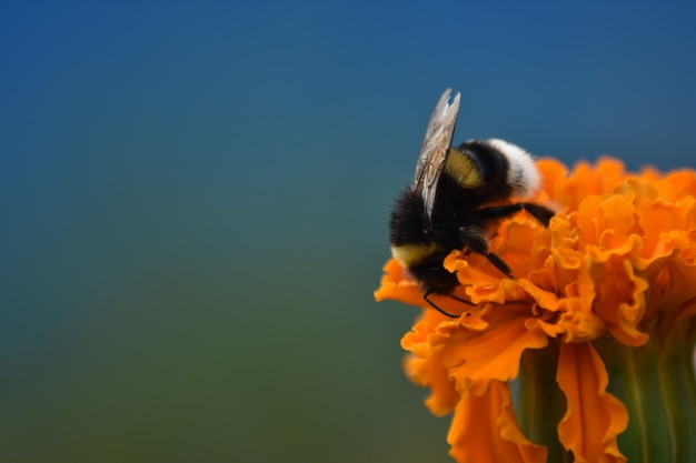 Schöne zottelige biene bestäubt blüte
