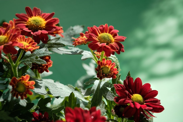 Schöne zweifarbige chrysanthemenblüten blühen in den farben rot, orange und gelb. nahaufnahme auf
