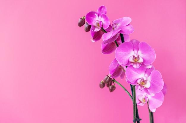 Schöne zweige der magentafarbenen orchideenblumen