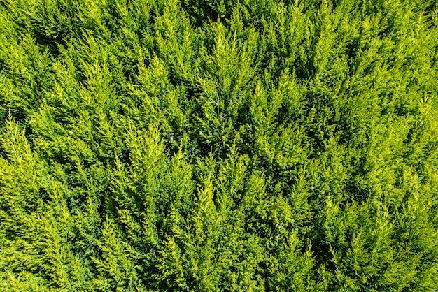 Schöne zypressenhecke mit leuchtend grünen blättern.