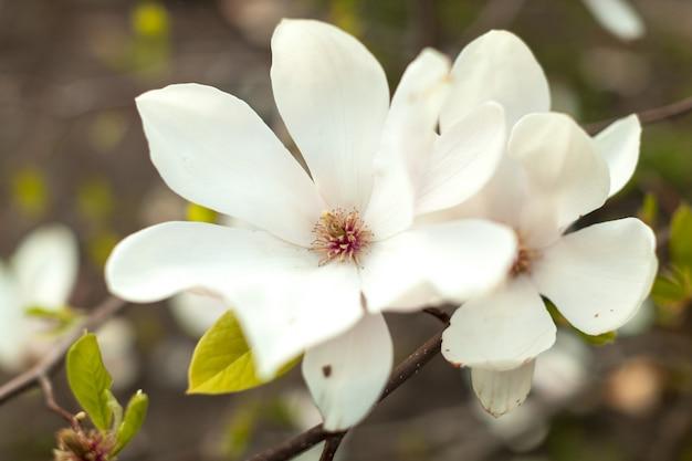 Schöner abschluss herauf magnolienblumen.