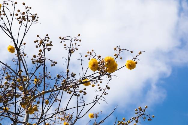 Schöner abschluss herauf suppanigarblume oder gelber silk baum der baumwolle in den händen