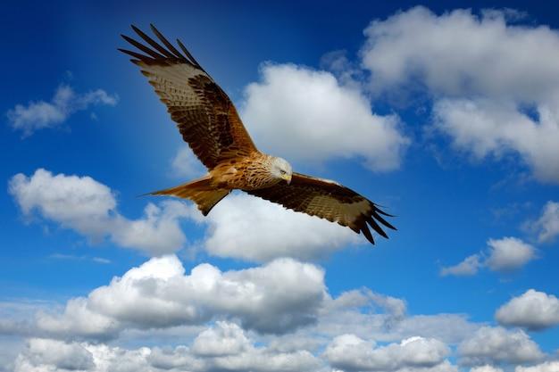 Schöner adler, der über einem blauen himmel fliegt