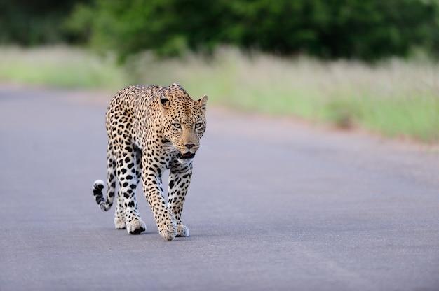 Schöner afrikanischer leopard, der auf einer straße geht, die durch grasbewachsene felder und bäume umgeben wird