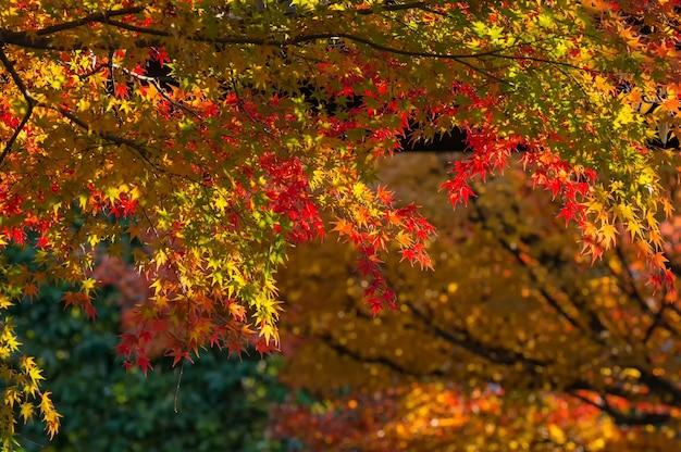 Schöner ahornbaum mit bunten herbstblättern