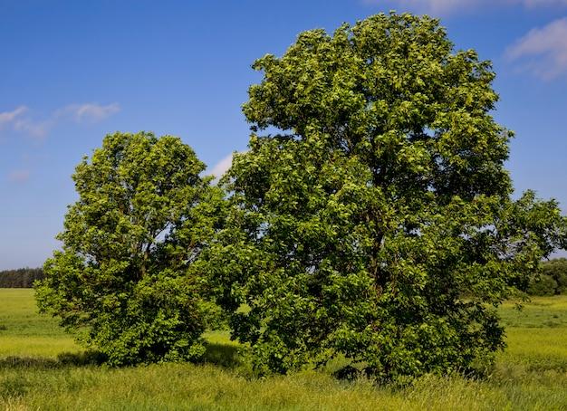 Schöner ahornbaum