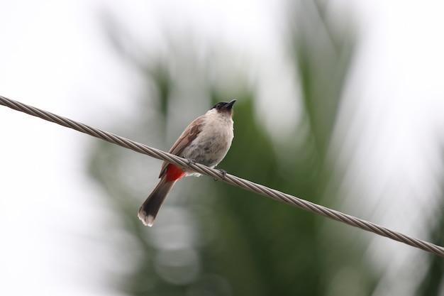 Schöner asiatischer vogel roten-whiskered bulbul, der an drahtfreiheit und -glück in der natur hält
