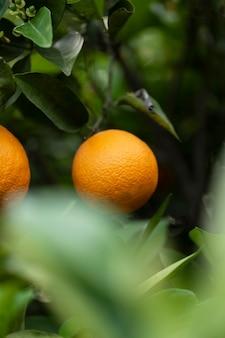 Schöner baum mit reifen orangenfrüchten