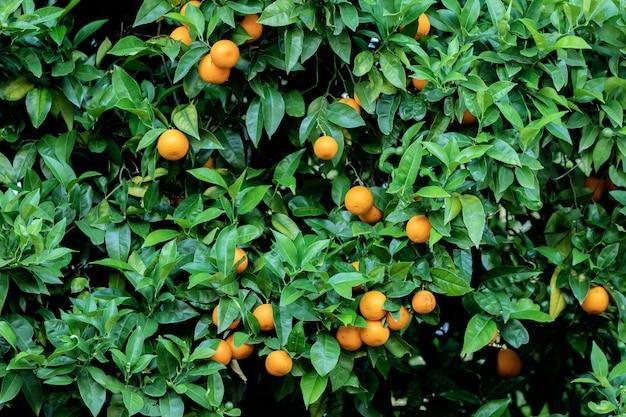 Schöner baum mit vielen orangen