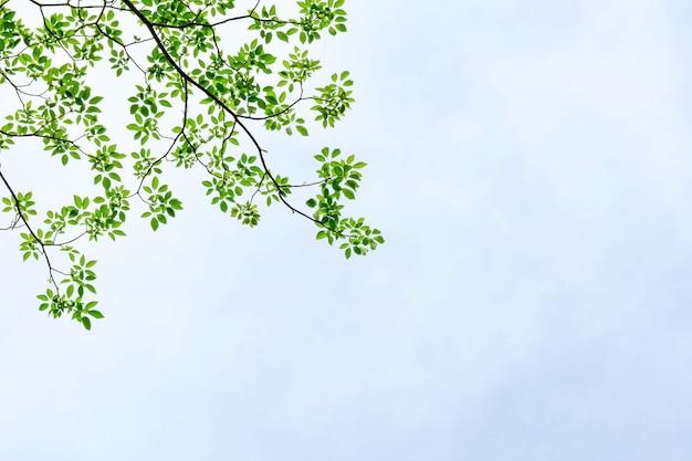 Schöner baumast und grünes blatt lokalisiert auf weißem hintergrund