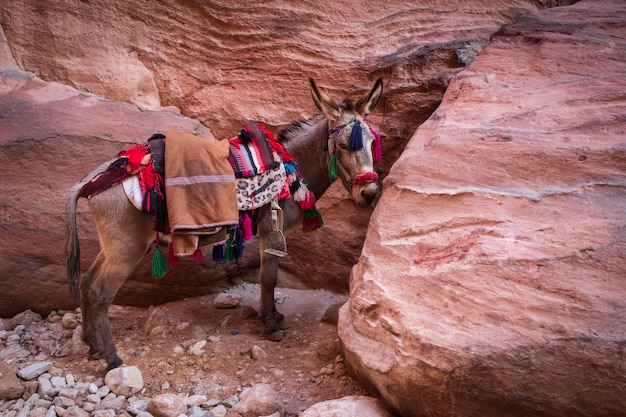 Schöner beduinen-esel, der auf der roten steinklippe in petra, jordanien ruht.