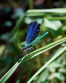 Schöner blauer damselfly (calopteryx jungfrau), der die flügel öffnet, während er auf einer pflanze sitzt