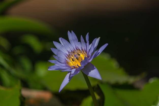 Schöner blauer lotos mit biene