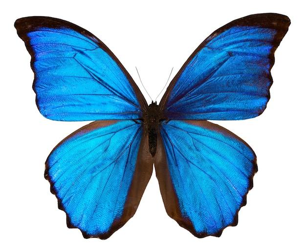 Schöner blauer schmetterling lokalisiert auf weiß. morpho didus.