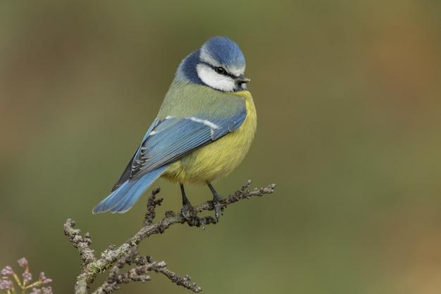 Schöner blaumeisenvogel thront auf einem ast im wald