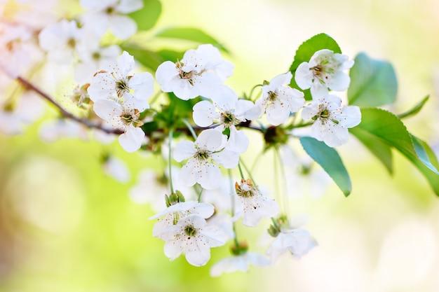 Schöner blühender garten der apfelbäume im frühjahr. nahansicht.