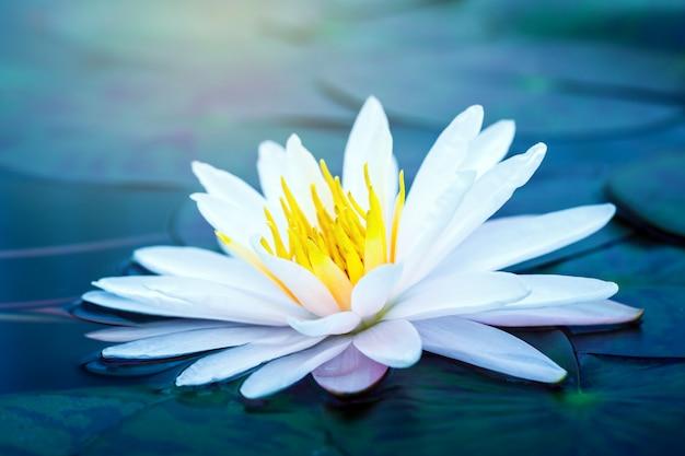 Schöner blühender lotus oder waterlily blume im teich